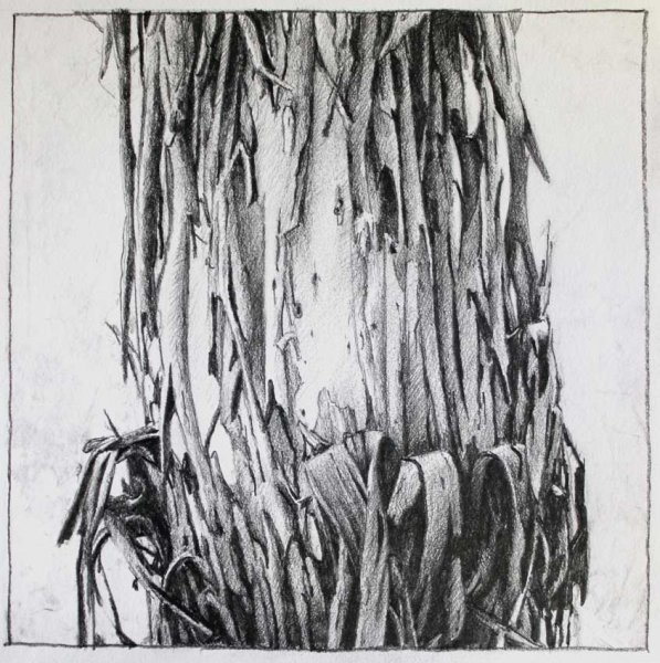 Study sketch of a Peeling tree - Pencil on paper 20x20cm