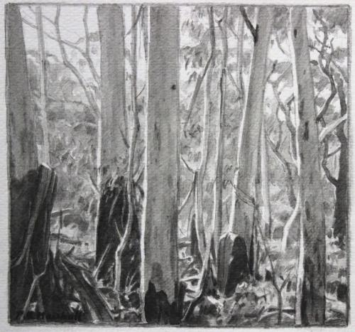 Blackheath Forest Trees II - pencil and wash on paper 17.4x18.4cm 2012