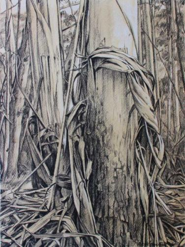 Mountain Gums - Charcoal with Conte and wash 42x31cm 2015