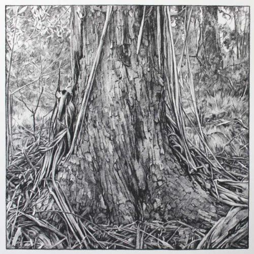 Where a Tree meets the Earth - willow charcoal on Fabriano paper 66x66cm 2014