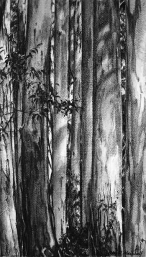Tall Trunks and Shadow - willow charcoal and wash on Fabriano paper 45x26cm 2013