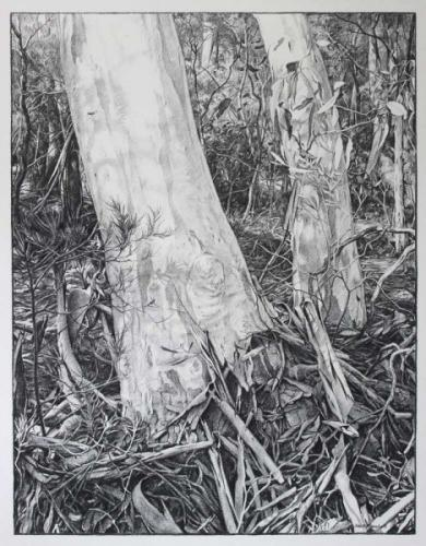 Bush gums and Shadows - Willow charcoal on fabriano paper 91x70cm - 2014