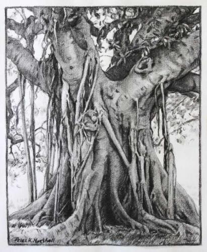 Moreton Bay Fig - Willow charcoal and wash 34x28cm 2014-15