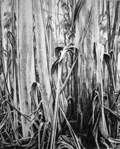 'Peeling Eucalypts - Blackheath' - willow charcoal on Fabriano paper 27.5x34cm 2013
