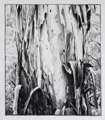 Peeling Tree Study - Willow Charcoal 32x27cm 2017